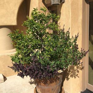 Potted Citrus with Basil in Bloom