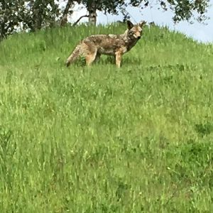 Coyote in the Distance