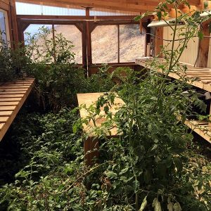 Tomato Vines taking over the Greenhouse