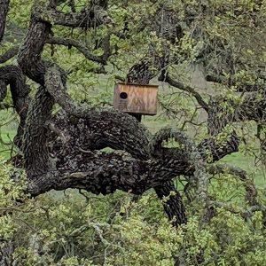 Owl Box in gnarled Oak