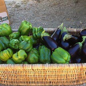 Harvesting Peppers + Eggplants