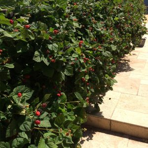 A Berry Fence before the Birds Arrive!